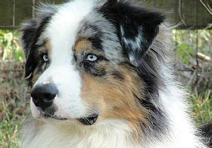australian shepherd puppies for sale in ga australian shepherd breeders and australian shepherds for sale
