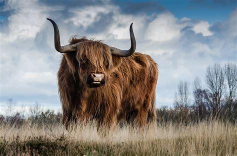 free photo bull landscape nature mammal free image