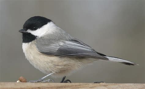 carolina chickadee the texas breeding bird atlas