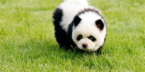panda puppy panda dogs are dogs that look like pandas photos