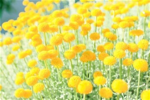 fiori di colore giallo crisantemo foto e vettori gratis