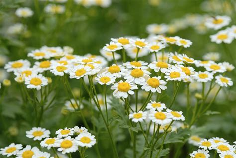 Tiny House For Family Of 4 by How To Grow Chamomile Plants