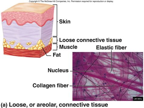 tissue diagram connective tissue structure driverlayer search engine