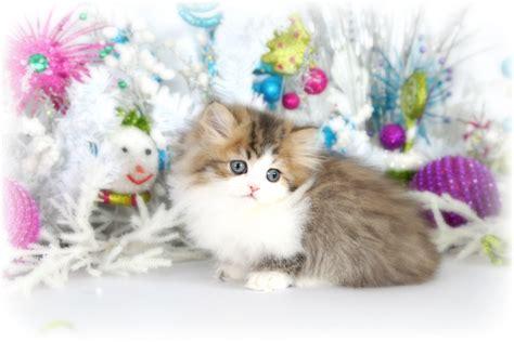 rug hugger cats shaded golden white teacup rug hugger kitten for saleultra kittens for sale