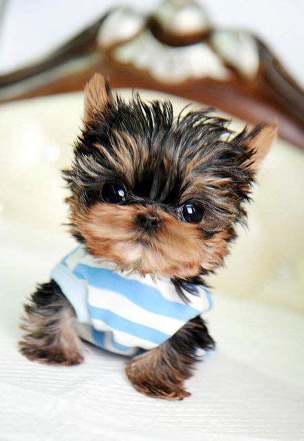 fluffy yorkie puppy holy fluffy cuteness yorkie puppy way