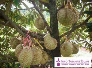 Harga Bibit Durian Bawor Asli bibit durian bawor durian asli indonesia ukuran buah