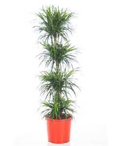 buy house plants buy house plants now dracaena anita bakker com