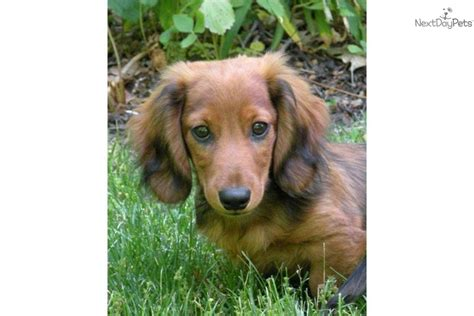 miniature dachshund puppy rescue miniature dachshund puppies rescue breeds picture