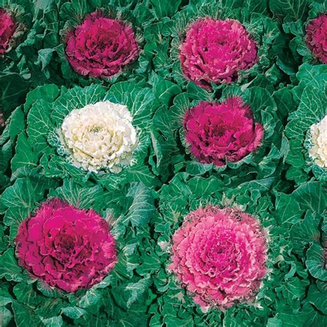 cabbage ornamental mix color up mix hybrid ornamental cabbage seeds gardens