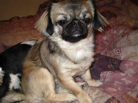 pug lhasa apso mix pekingese pug mix breed breeds picture