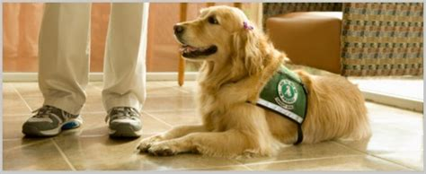 golden retriever therapy dogs golden retriever therapy dogs best breed in therapy program