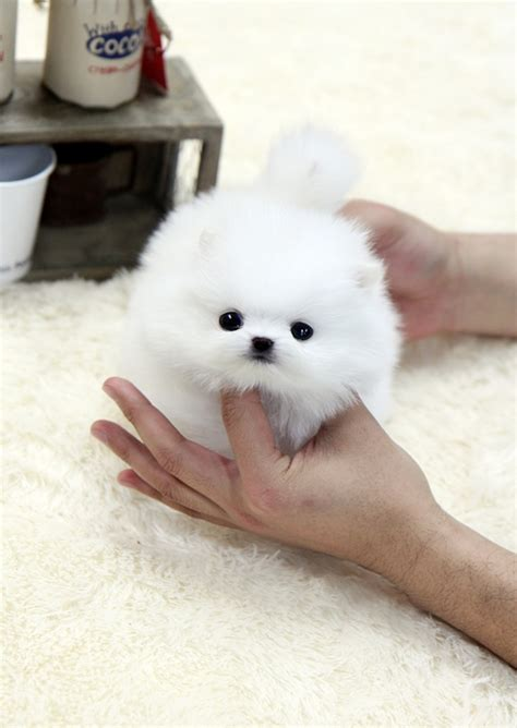 where can i buy teacup pomeranian white teacup pomeranian on the hunt