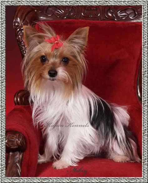 yorkie colors 17 best images about parti yorkies morkies on yorkie play mate and faces