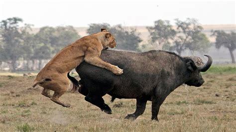 Animal World 5 jungle vs buffalo animal world