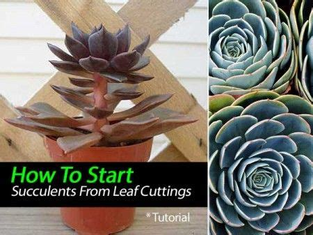 How To Propagate Succulent Leaf Cuttings With Near - 247 best images about succulents drought tolerant plants