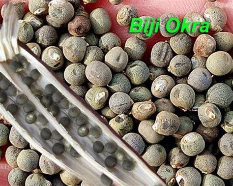 Benih Buah Okra 9 tahap cara sukses menanam okra bendi agar subur dan