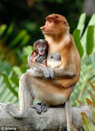 borneo wildlife: searching for the proboscis monkey in