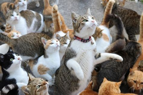 cat island in japan cat island feral cats outnumber humans on japan s