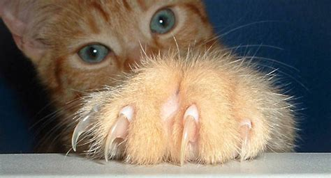 Cat Nails Shedding by Cat Claws The Ultimate Cat Website