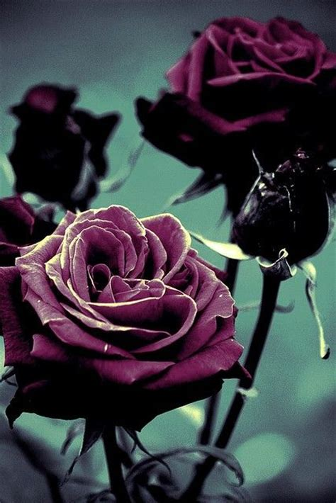 black purple rose stuff pinterest