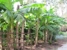 ice cream banana tree just fruits and exotics