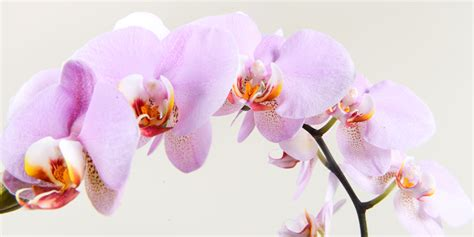 phalaenopsis orchid moore park plantscapes tropical