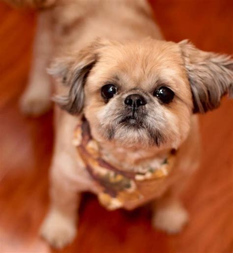 cute cuts for shih tzus 494 best images about cute animals on pinterest