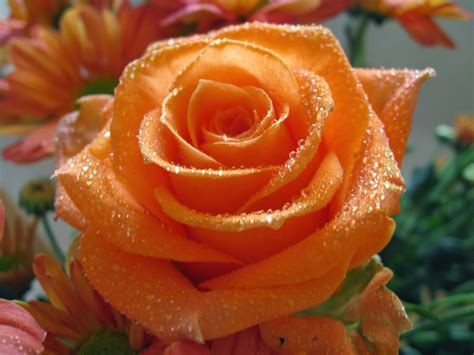 beautiful orange beautiful orange color rose flowers wallpapers
