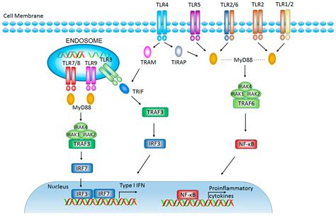 targeting pattern recognition receptors in cancer immunotherapy ijms free full text promising targets for cancer