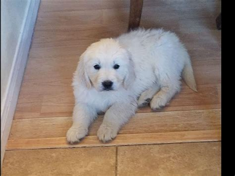 golden retriever breeders las vegas las vegas golden retrievers golden retriever puppies for sale