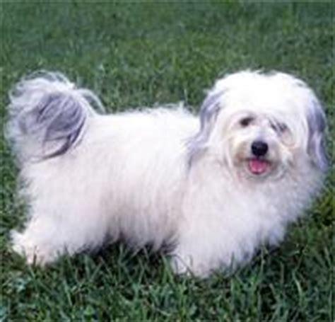 havanese puppies colorado springs adopt a havanese breeds petfinder