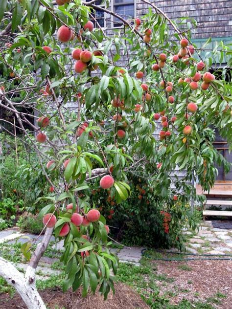 backyard peach tree the red haven peach tree garden produce and permaculture