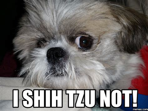 shih tzu meme image result for shih tzu memes pet shih tzus and animal