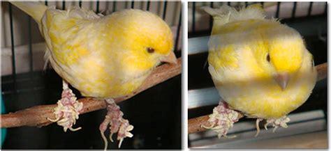 Obat Cacing Burung Kenari mengatasi kaki berkerak pada burung klub burung