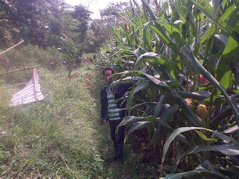 Benih Jagung Tongkol 2 budidaya jagung teknologi organik mmc agrokompleks mmc