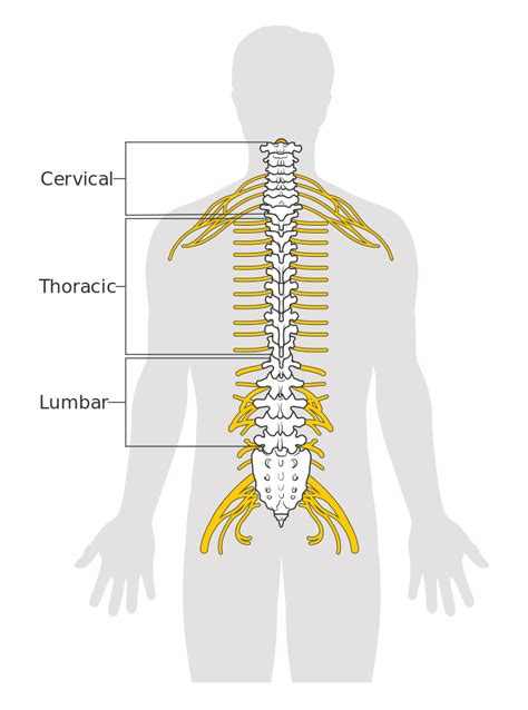 diagram of the spinal cord file diagram of the spinal cord cruk 046 svg wikimedia