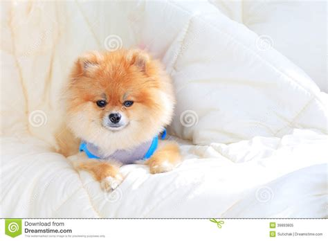 pomeranian wearing clothes pomeranian grooming wear clothes on bed stock image image 39893805