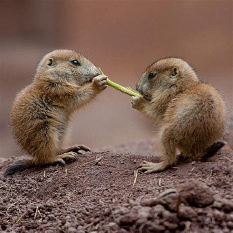 what do prairie dogs eat lose weight regain the of diets are fattening