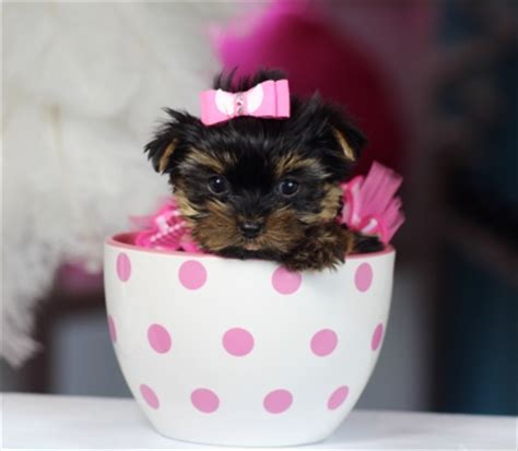 teacup yorkie for sale in miami puppies for sale