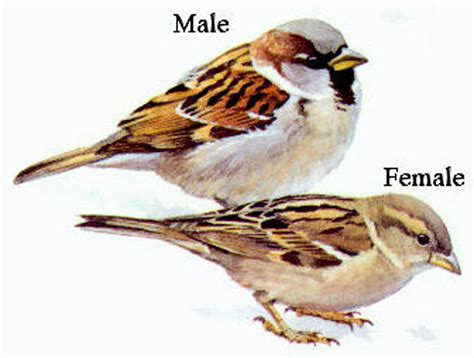 house sparrow common birds u city in bloom