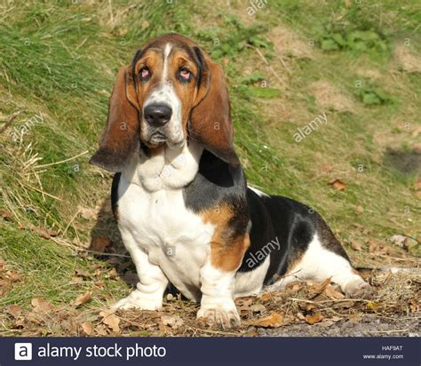 basset hound colors hound stock photos hound stock images