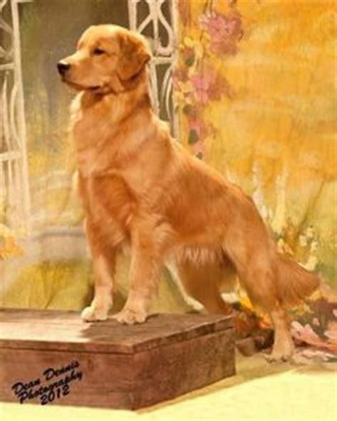 do golden retrievers bark much pets on golden retrievers treats and treats