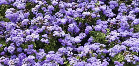 fiori antizanzare le piante antizanzare
