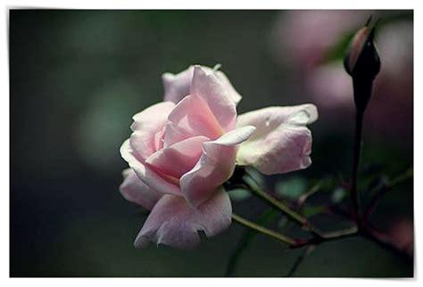 imagenes rosas negras naturales imagenes de rosas negras naturales dibujo imagenes
