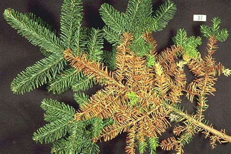 the christmas tree traditions production and diseases