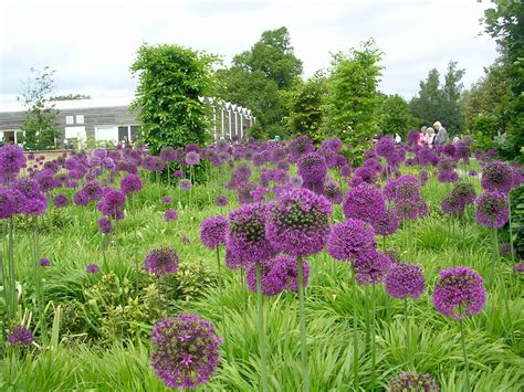 how to grow alliums planting allium bulbs growing alliums