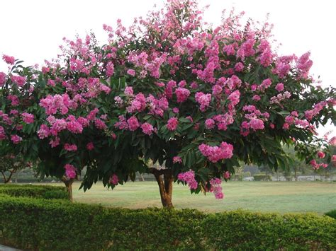 top 28 summer flowering trees the urban gardener