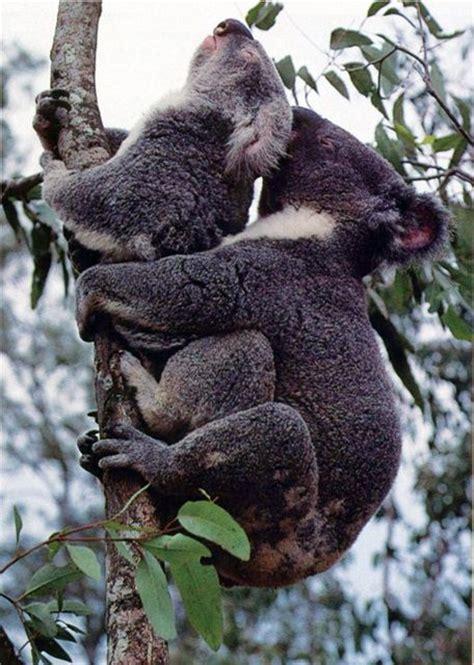 el salvaje ritual de apareamiento de los koalas marcianos