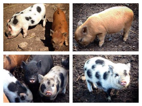 micro pigs for sale uk micro pigs for sale crickhowell powys pets4homes