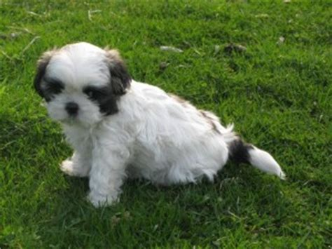 how much to feed a shih tzu puppy happy shih tzu puppy customers